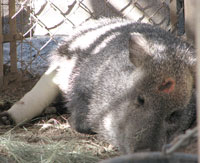 injured javelina rehabilitated