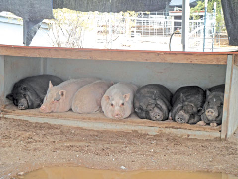 Ironwood Pig Sanctuary