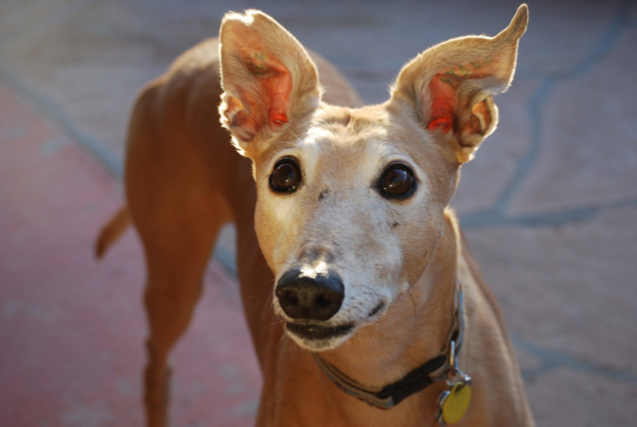 Sweet Gordon Greyhound