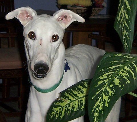 Meet Wings - a Tucson greyhound