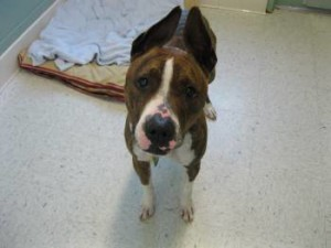 boxer mix needs a home