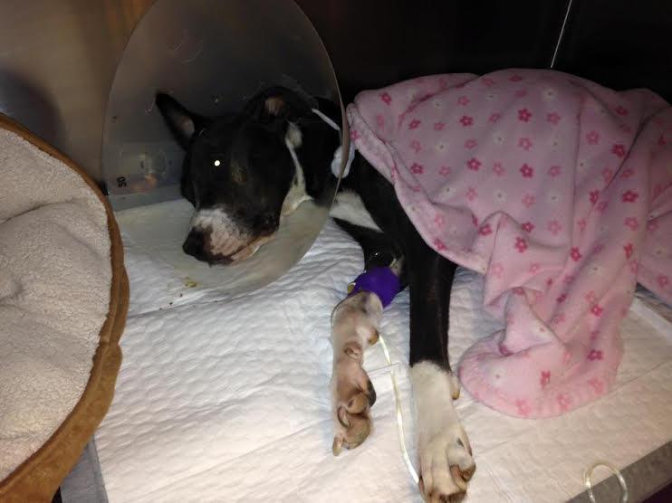 Arizona Puggle Rescue