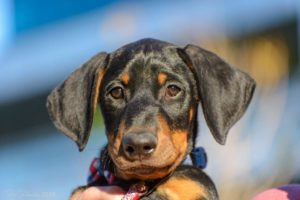 Desert Harbor Doberman Rescue